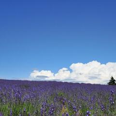 ガーデン/花/夏/青空/ラベンダー Lavenders hill  北海道上…