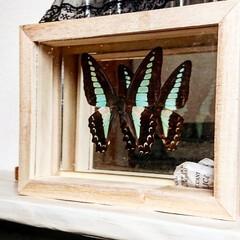 昆虫/蝶/標本/標本ケース/100均/セリア/... 大好きなアオスジアゲハをネットショッピン…