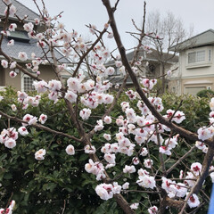 空/花/LIMIAおでかけ部/フォロー大歓迎/猫/おでかけ/... 桜🌸あちらこちらで 咲き誇って💕🎶可愛い💕