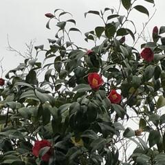 空/花/フォロー大歓迎/猫/おでかけ/旅行/... 真っ赤な椿の花 少し小さい花でしたが と…
