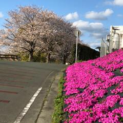 花/雲/空/LIMIAおでかけ部/フォロー大歓迎/猫/... 桜🌸芝桜 とても綺麗 でした💕🎶 熊本県…