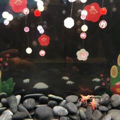 水族館/あけおめ/冬/猫/おでかけ/旅行/... 海老の水槽の中は お正月の飾りに なって…