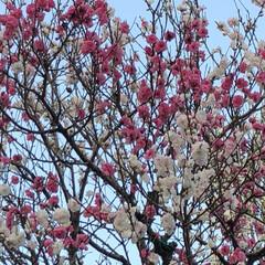 空/雲/花/LIMIAおでかけ部/フォロー大歓迎/猫/... ピンクの花の木と白の花の木 木が2本絡み…