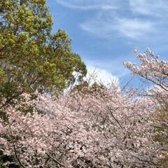雲/空/花/LIMIAおでかけ部/フォロー大歓迎/猫/... ちょっと、寒いけど 桜が満開というので …