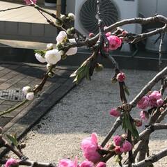 空/雲/花/LIMIAおでかけ部/フォロー大歓迎/猫/... 1本の木なのに、ピンクと白の花が、咲いて…