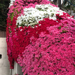 空/雲/花/フォロー大歓迎/おでかけ/旅行/... ご近所さんのお家のツツジが もう💕満開に…