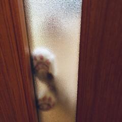 ピンク/肉球/猫が好き/ドア/すりガラス/ねこ/... ニラレバさん、 帰ってくる音が聞こえるな…