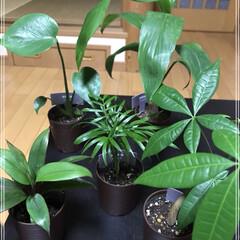 ダイソー/観葉植物/100均 ダイソーにフェイク買いにGo٩(ˊᗜˋ*…