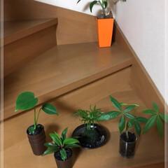 ダイソー/100均/グリーン ダイソー植物5種類の巻٩(ˊᗜˋ*)و …(1枚目)
