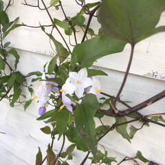 グリーンのある暮らし/蔓/ツルハナナス/暮らし 先月植えてもらったツルハナナスの花が咲き…