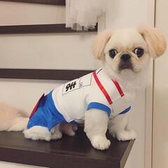 犬/ペット/愛犬/ペキニーズ/犬の運動会/犬の体操着/... 我が家のアイドル えごま です🐶 今週末…