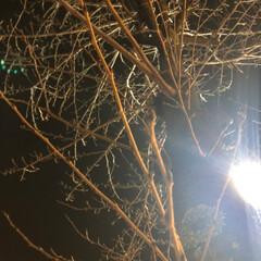 風景/フォト/写真/桜/春/LIMIAおでかけ部 昨夜帰りに桜の木に蕾がついてるのに気がつ…(2枚目)