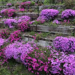 花/芝桜/春のフォト投稿キャンペーン/春 友達と見た芝桜その3〜 実はこれ、東名高…