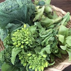 ふきのとう/菜の花/ブロッコリー/春/旬野菜/春の旬野菜/... 30秒で行ける隣の畑。直販しているので、…