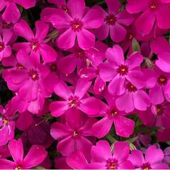 花/芝桜/春のフォト投稿キャンペーン/春 友達と見た芝桜その2〜 濃いピンクもかわ…