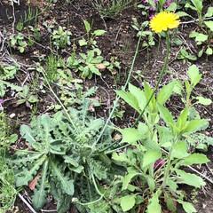 タンポポ/春のフォト投稿キャンペーン/春/LIMIAおでかけ部 このタンポポ、やたらと茎がながーい🙄 昔…