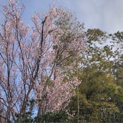 ナズナ/桜/春/風景/LIMIAおでかけ部/おでかけ/... 山桜がほぼ満開!畑にもナズナがたくさん咲…