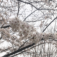 桃/桜/花/春/LIMIAおでかけ部/風景/... 近所におでかけしたら、桜が満開!桃や水仙…
