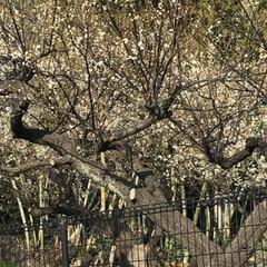 梅の花/春/梅/LIMIAおでかけ部/おでかけ/おでかけワンショット おはようございます。隣の畑にある梅がきれ…