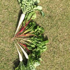 庭/サラダ/家庭菜園/野菜 我が家の片隅の小さな小さな畑で育てた野菜…(1枚目)