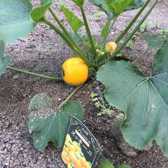 夏野菜/家庭菜園/初物/ガーデニング/ズッキーニ 初物のズッキーニ、今朝収穫! 丸い形をし…(2枚目)