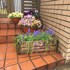 パンジー/ステンシル/春の花/焼杉/杉板/野地板/... ムスカリがきれいに咲いたのですが、プラス…