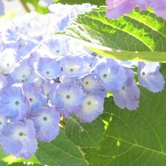 花/梅雨 アジサイ、まだまだ花盛りですね。