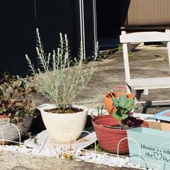 ガーデン/寄植え 白い木を  寄植えしました! 春には花も…
