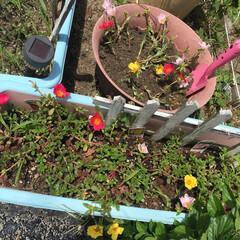挿し芽/花/ガーデニング/ポーチュラカ 手前のポーチュラカがスクスク育ってきて窮…