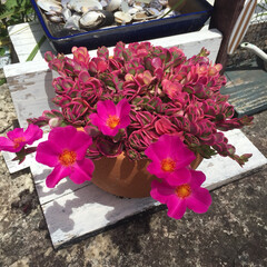 花/ガーデン/ポーチュラカ 春から植えた ピンクの葉のポーチュラカに…