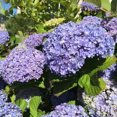 紫陽花/梅雨/ボタニカル/おでかけ 道の駅の紫陽花。八重の花びらで、爽やか …