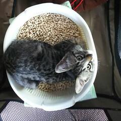 癒し/可愛い/かわいい/トラ猫/子猫/猫と暮らす/... 知り合いのところで産まれた子猫を里親のも…