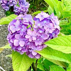 紫陽花 梅雨☔️の晴れ間に近所の紫陽花棚田に行っ…(4枚目)
