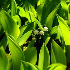 ガーデニング 毎年5月に庭の一面に咲きます😄