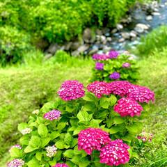 紫陽花 梅雨☔️の晴れ間に近所の紫陽花棚田に行っ…(7枚目)
