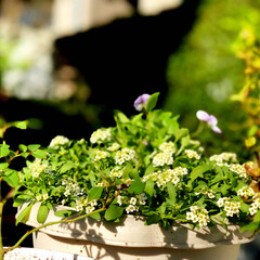 住まい 久し振りに庭の鉢を植えかえました。