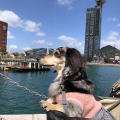 おでかけ/犬 随分行けていなかった門司港レトロの散歩に…(1枚目)