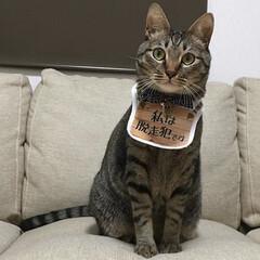 愛猫/ねこ/ガチャガチャ/ネコ/保護猫/キジトラ/... ガチャガチャでGET❤️ 脱走した事ない…