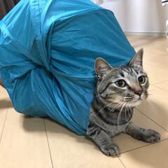 ネコ/思い出/癒し/キジトラ/ねこ/保護猫/... この夏1番上手く撮れた 軍曹さん🐈の写真…