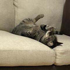 癒し/ねこ/キジトラ/ネコ/保護猫/きじとら/... ぐぅだらな顔洗い😱  うちの軍曹さん🐈あ…