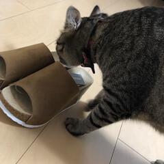 愛猫家/きじとら/愛猫/ねこ/癒し/ネコ/... 買った物は取り敢えず 軍曹さん🐈チェック…