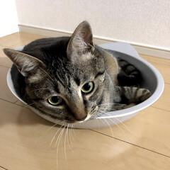 キジトラ/愛猫/ネコ/ねこ鍋/癒し/ねこ/... 暑い時は ねこ鍋が大活躍😆 すっぽり軍曹…