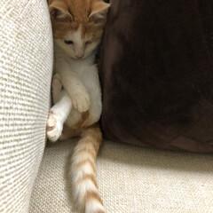 ネコ/ねこ/保護猫/茶白/茶白猫/癒し/... 暴れすぎて。。。 ソファーとクッションの…