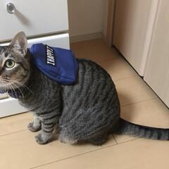 癒し/ネコ/愛猫/ねこ/保護猫/キジトラ/... 軍曹さん🐈 リュック背負ってお出かけしま…