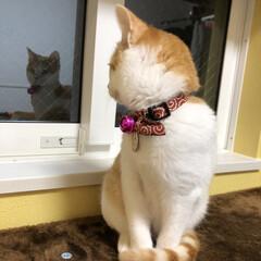 ペット/猫/保護猫/茶白/茶白猫/保護ねこ/... 窓越しからこんにちわ❤️
