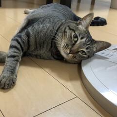 ねこ/癒し/キジトラ/保護猫/ネコ/猫/... 何でも枕にします‼️ 扇風機の台でもOK…