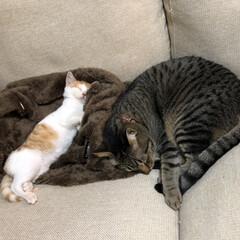癒し/多頭飼い/茶白猫/茶白/保護猫/きじとら/... 凛🐈の風邪も治ったのでご対面❤️  まだ…