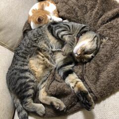 キジトラ猫/キジトラねこ/キジトラ/きじとら/ネコ/ねこ/... たまーにたまーに こんな姿が見れるように…
