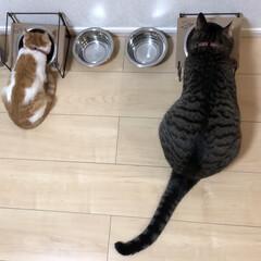 多頭飼い/保護猫/キジトラ猫/キジトラねこ/癒し/きじとら/... 最近は並んでご飯食べるんよぉ❤️  大き…