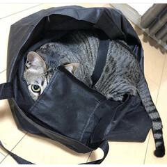 ネコ/愛猫/ねこ/保護猫/キジトラ/猫/... どうやったら そうなるん?笑